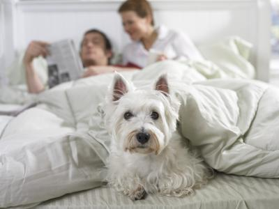 How To Control A Scottish Terrier S Bark Pets