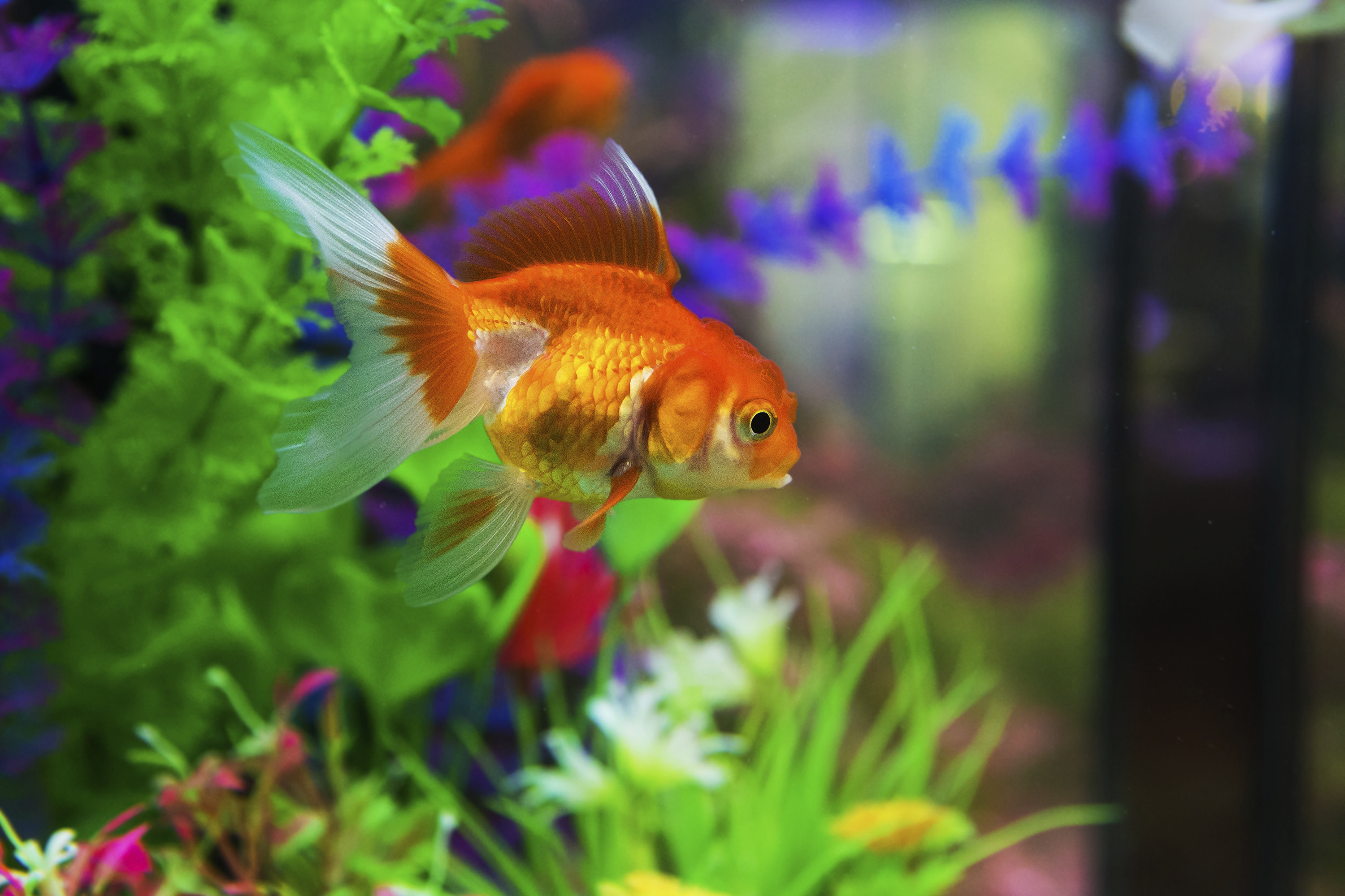 How to treat ich in freshwater fish animals for Ick in fish tank