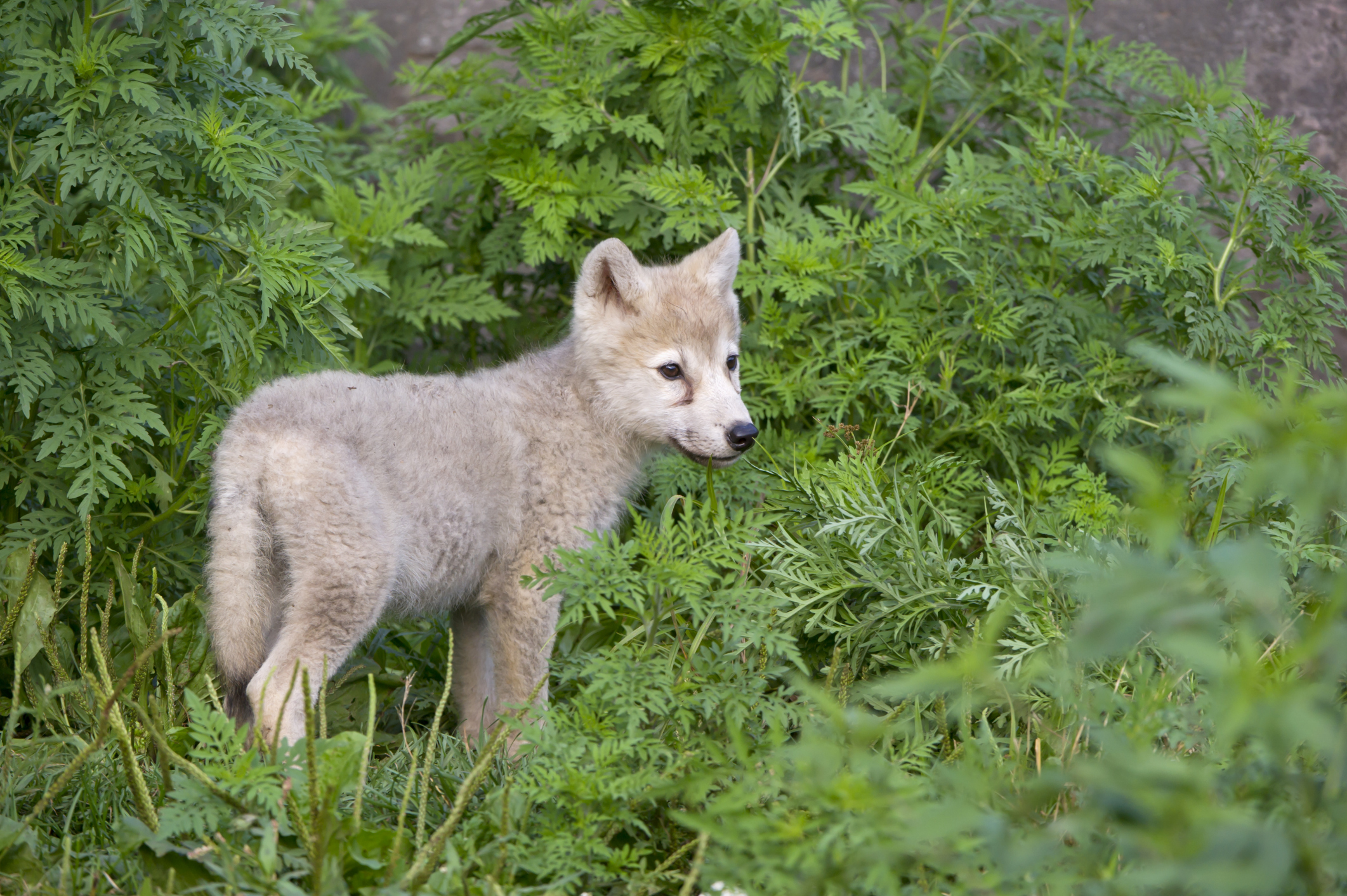 Facts About Baby Wolves Sciencing