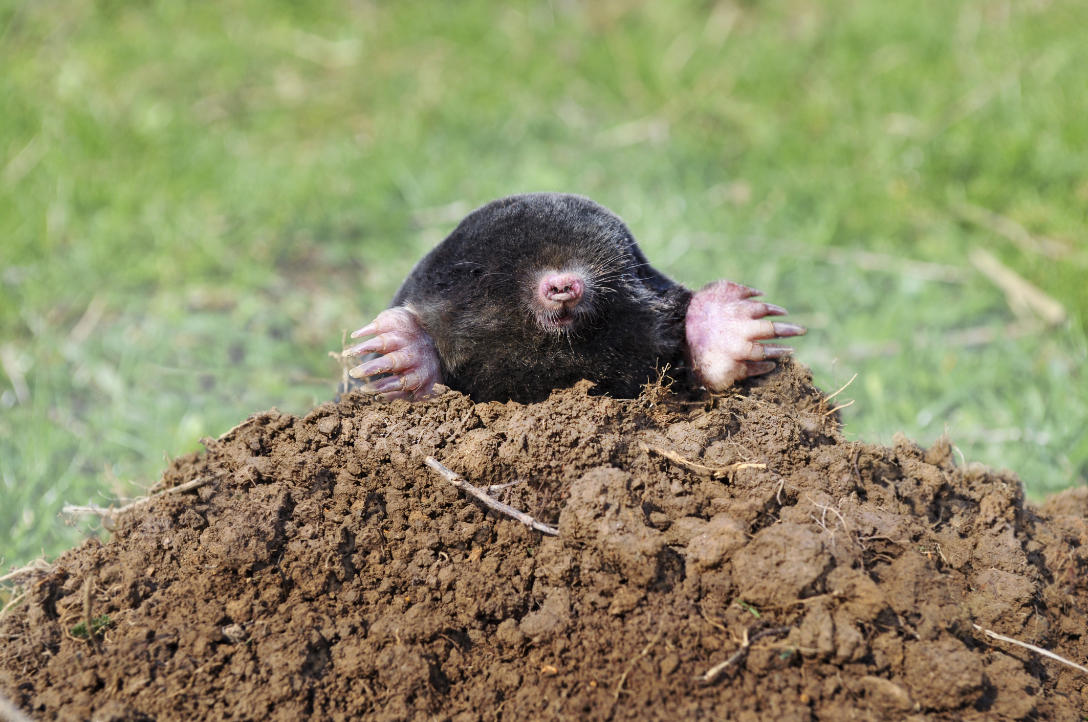 what rodent digs holes in yards