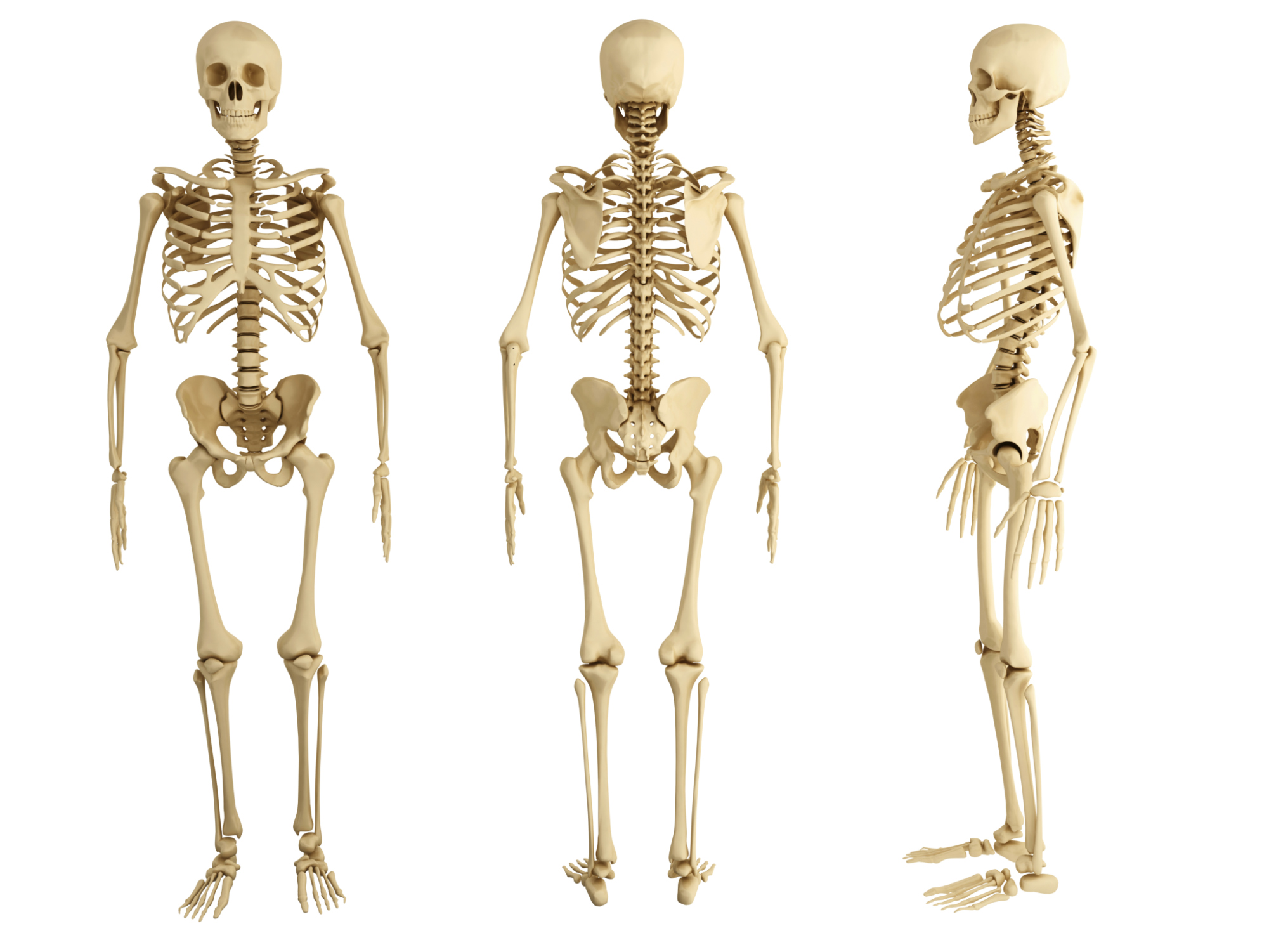 Why Are Bones Important To The Body Livestrong