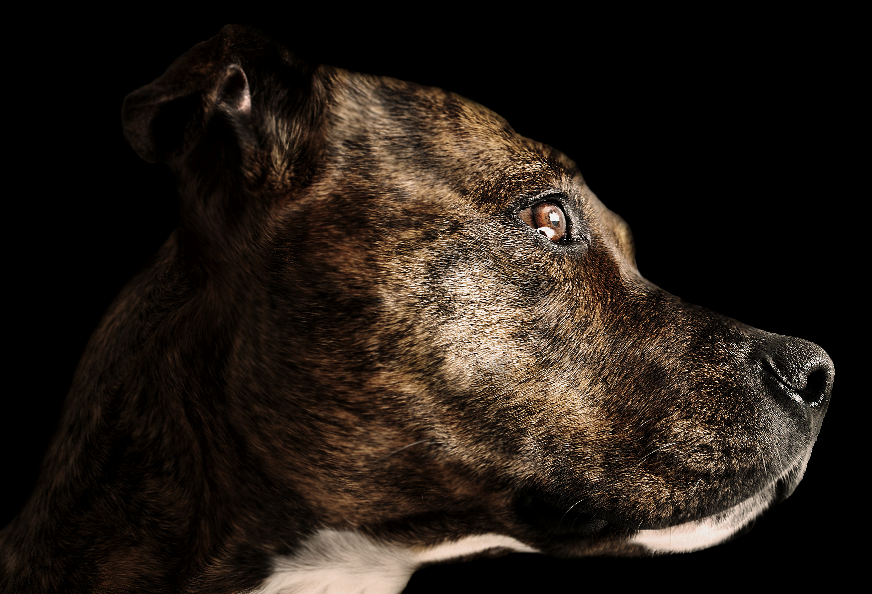 Brindle Pit Bull Facts Cuteness