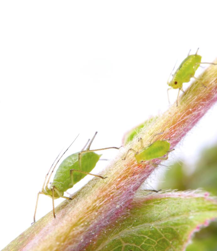 can i spray peppermint water to kill aphids on plants home guides sf gate. Black Bedroom Furniture Sets. Home Design Ideas