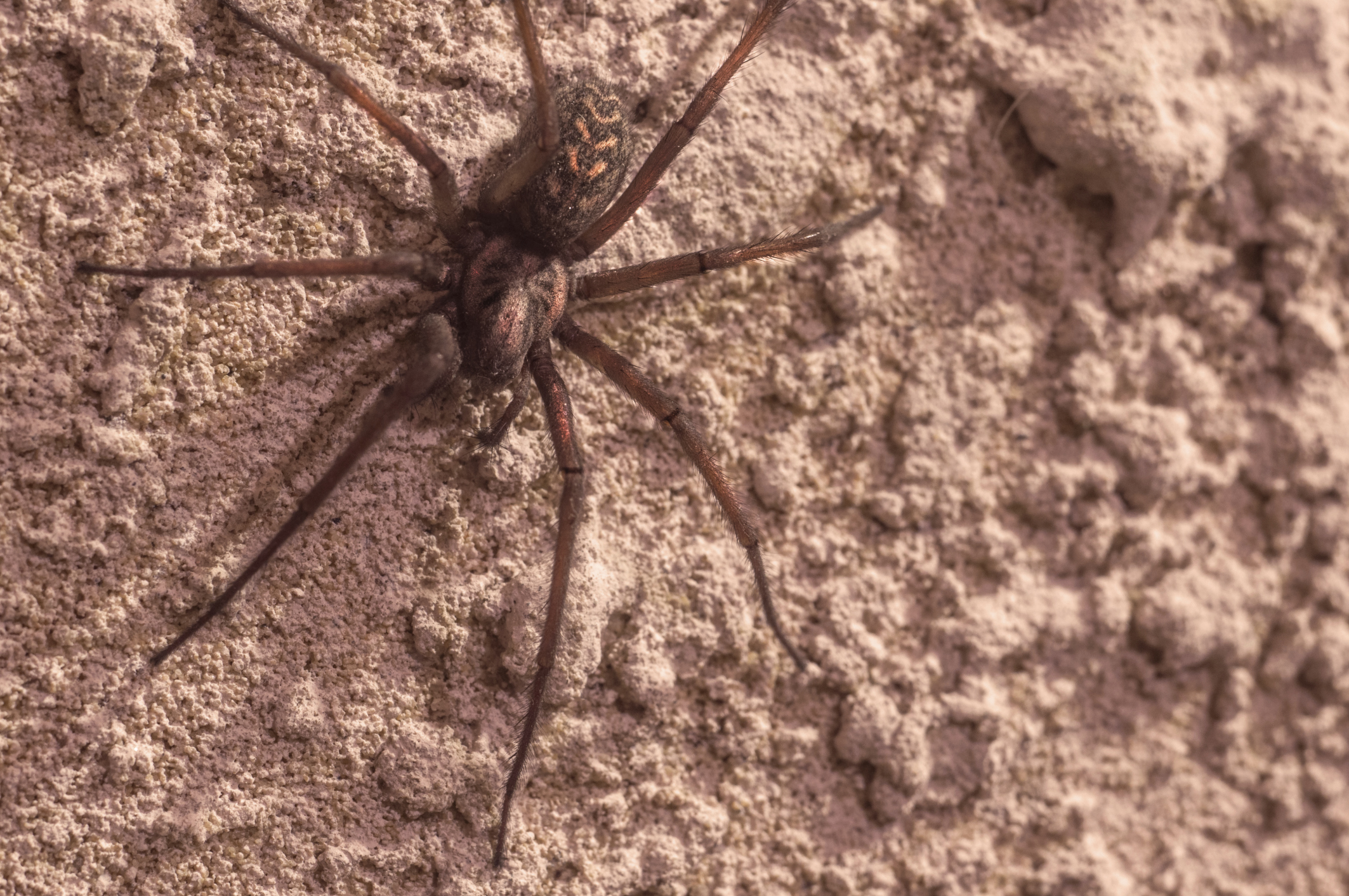 Brown Recluse Spider Bite Signs Stages Symptoms and Treatment