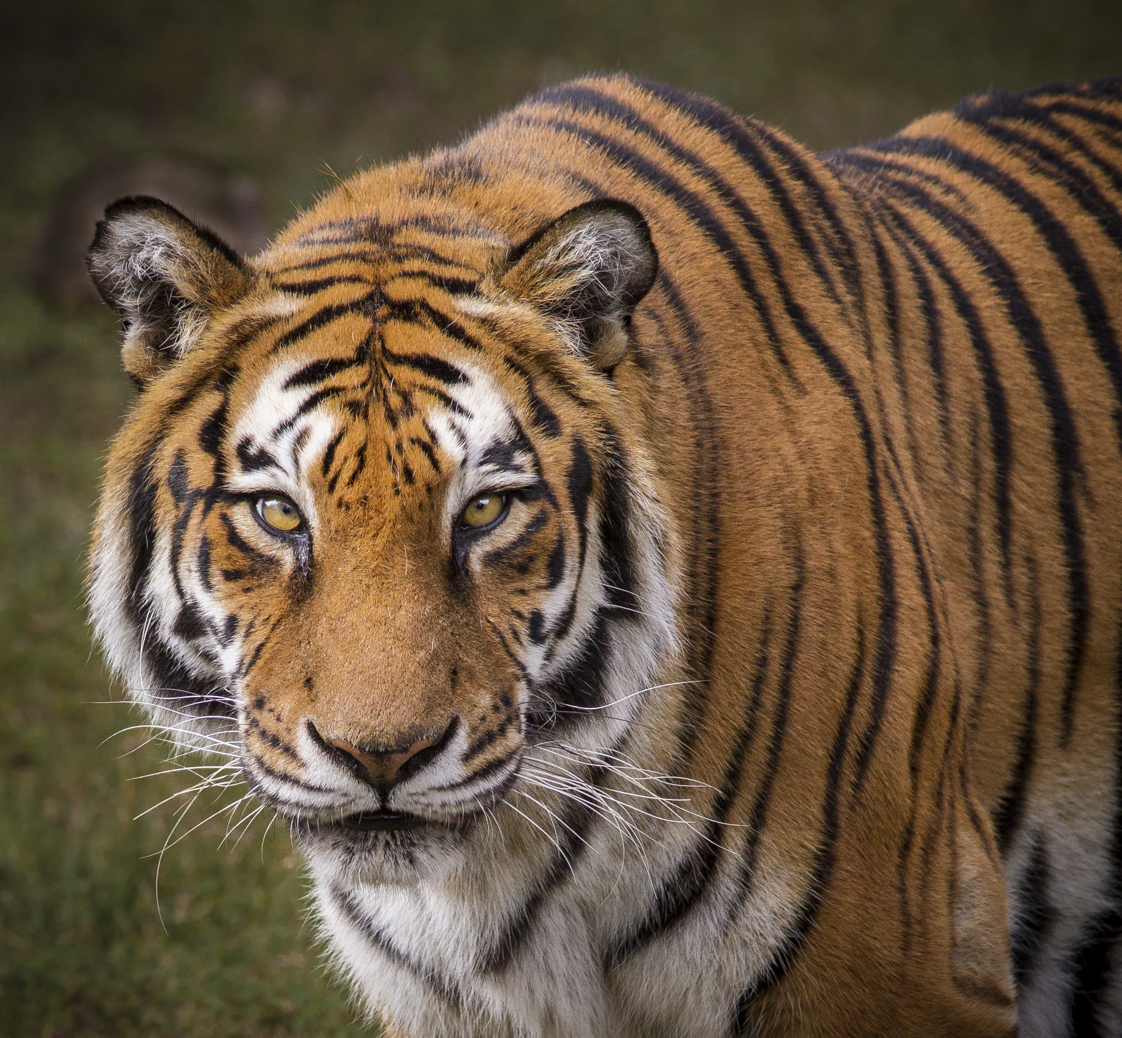 What are some adaptations of a tiger animals - Show me a picture of the tiger ...