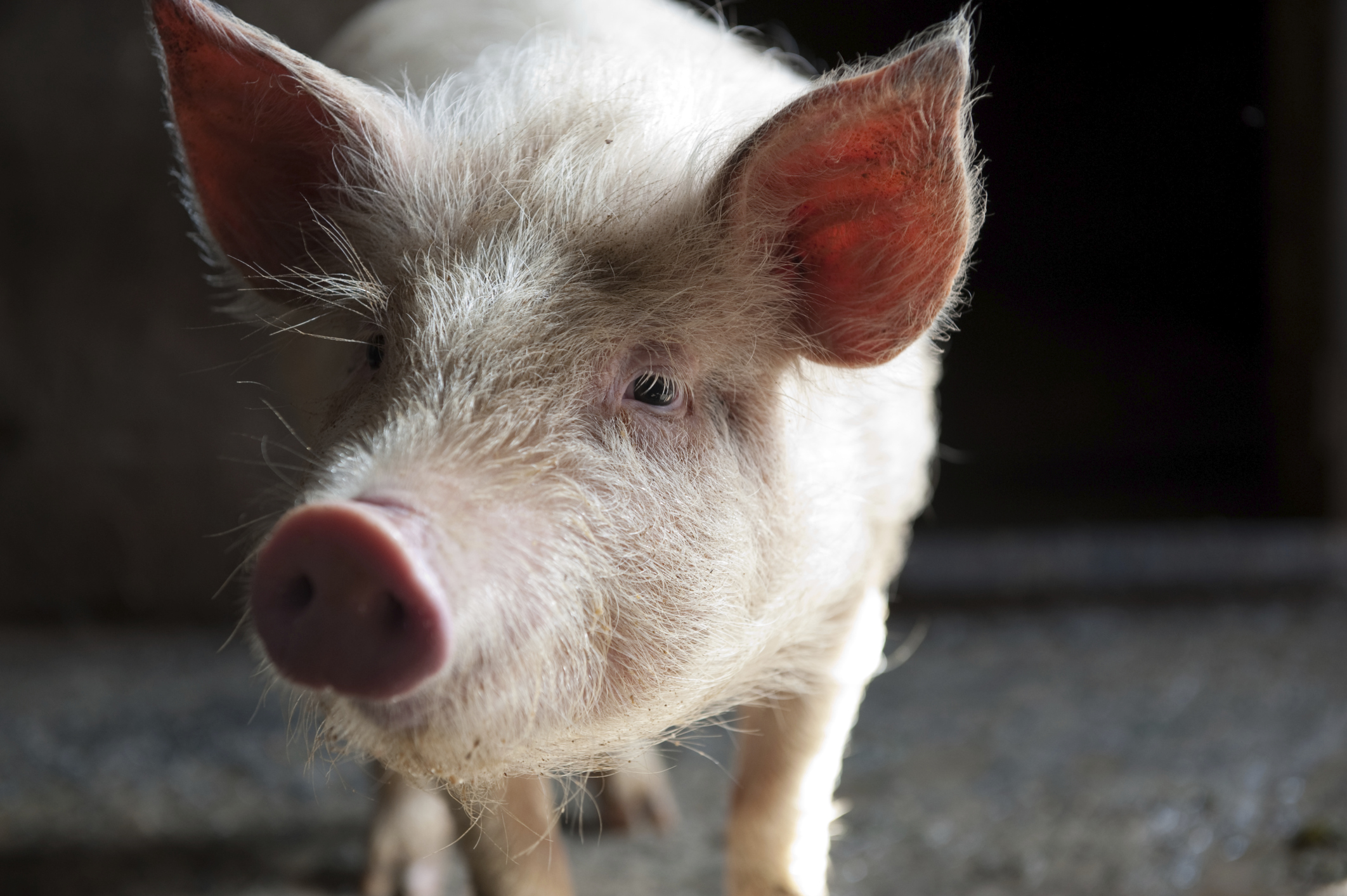 How Old Must a Pig Be for Slaughter? | Career Trend