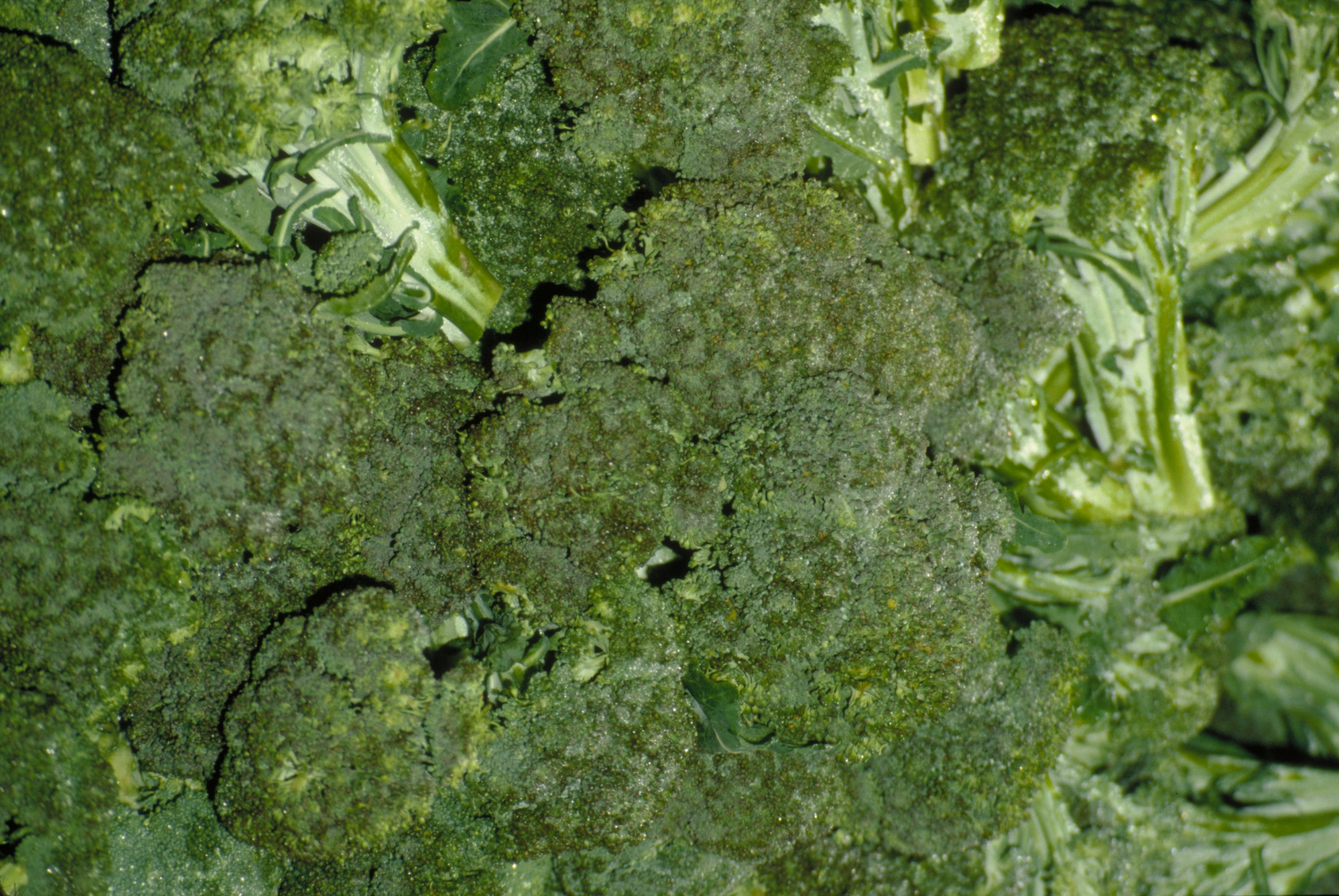 Broccoli, either raw or cooked, contains only a small amount of protein.