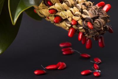 C mo obtener semillas del rbol de magnolia ehow en espa ol - Semilla de magnolia ...
