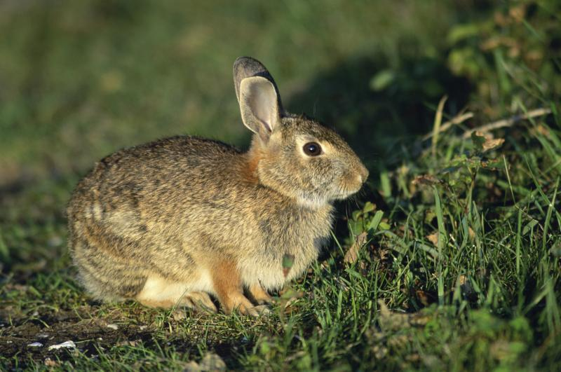 How To Protect Garden Peas From Rabbits Home Guides Sf Gate