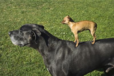 Great Danes and other dogs can live in harmony with proper measures.