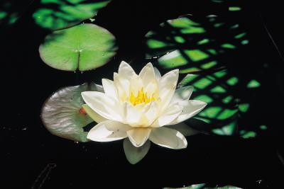 How to plant water plants in plastic ponds home guides for Plastic pond plants