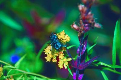 how to grow common rue