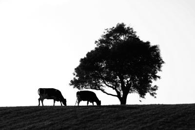 The Difference Between Black Angus & Chianina Cows | eHow UK