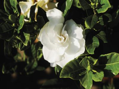 Why are gardenias yellow home guides sf gate mightylinksfo
