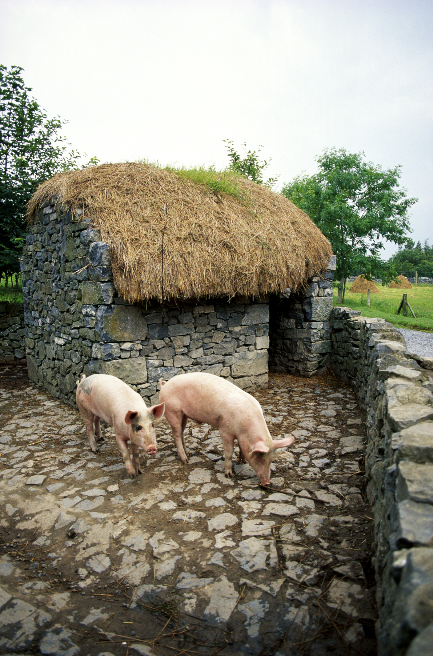 what is a barrow hog animals mom me