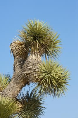 what type of root system do yucca plants have home