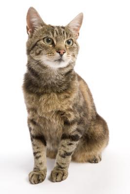 Do Female Cats Menstruate Pets