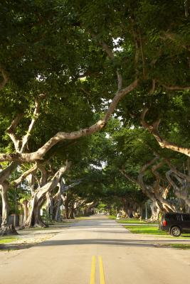 The Growing Rate For Indian Ficus Trees Home Guides Sf