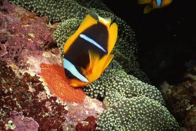 the life span of ornamental marine fish animals
