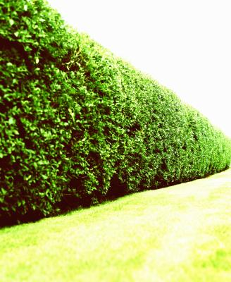 how far apart do i plant a hedge of pyramidal european hornbeam home guides sf gate. Black Bedroom Furniture Sets. Home Design Ideas