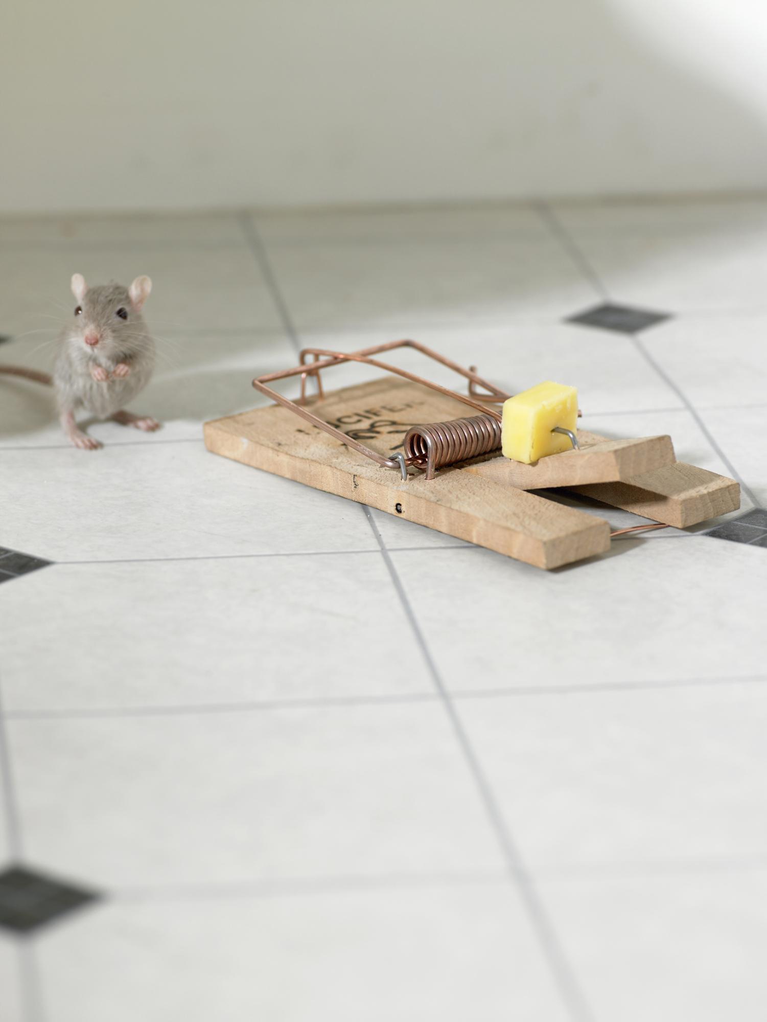 Cuál es un buen cebo para ratones? |