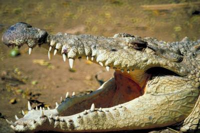 Can Crocodiles Taste Their Food