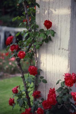 hansaland rose beskjæring