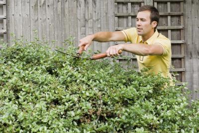 how to make podocarpus grow faster