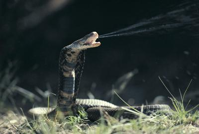 How Are Cobras Adapted to Their Environments?   Animals - mom.me