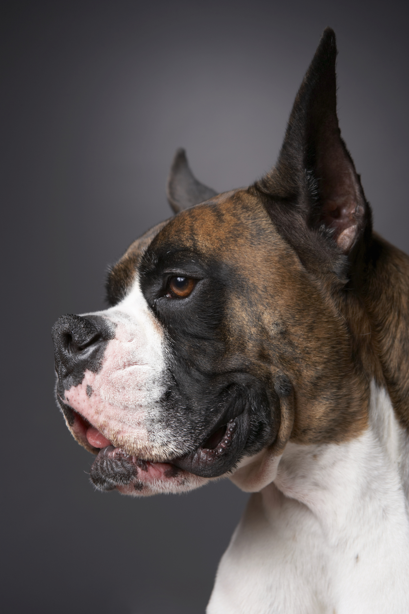 Cancer in Boxer Dogs | Cuteness