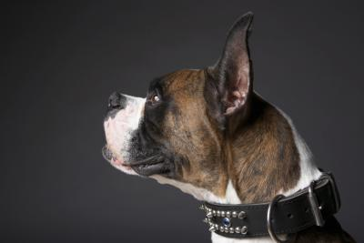 Brindle Colored Dogs | Dog Care - The Daily Puppy