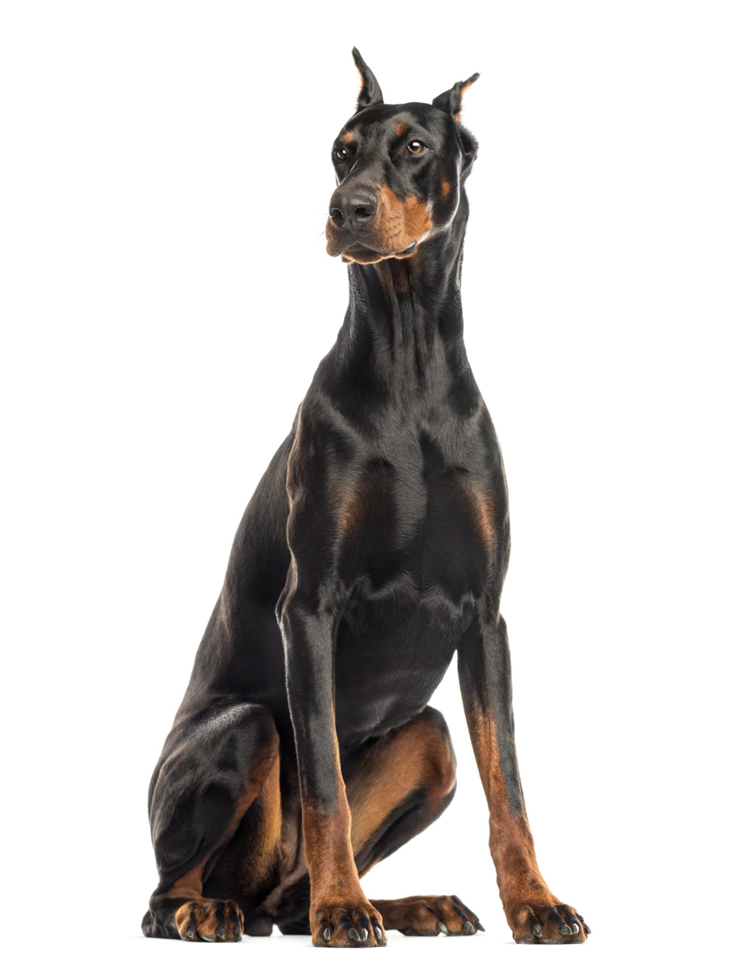 Rottweiler Mix German Shepherd Puppies Information on Labrado...