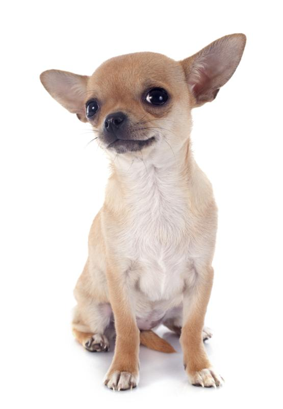 What Is the Average Body Length in a Chihuahua? | Dog Care ...