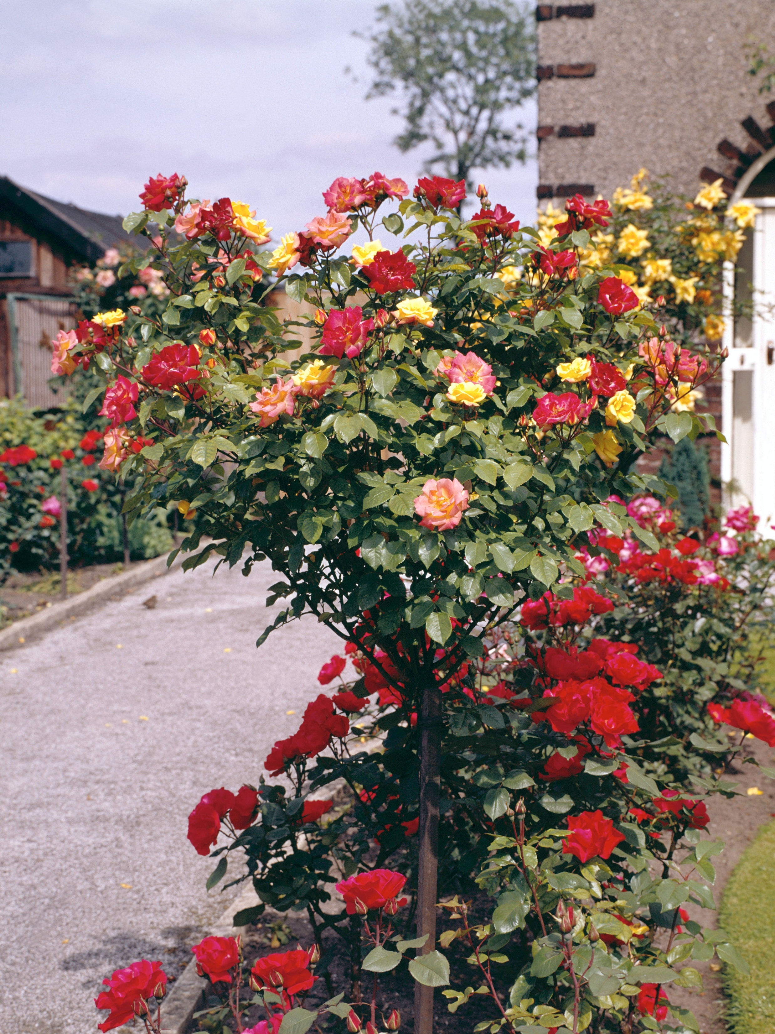 What Causes Holes In Leaves Of Rose Bushes Home Guides