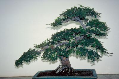 How To Care For An Elephant Tree Plant