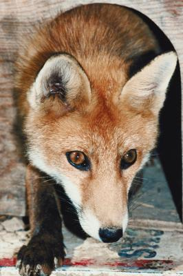 Mating Habits Of Foxes Ehow Uk
