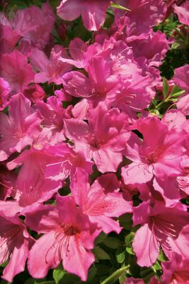 How to trim care for encore azaleas home guides sf gate - Care azaleas keep years ...