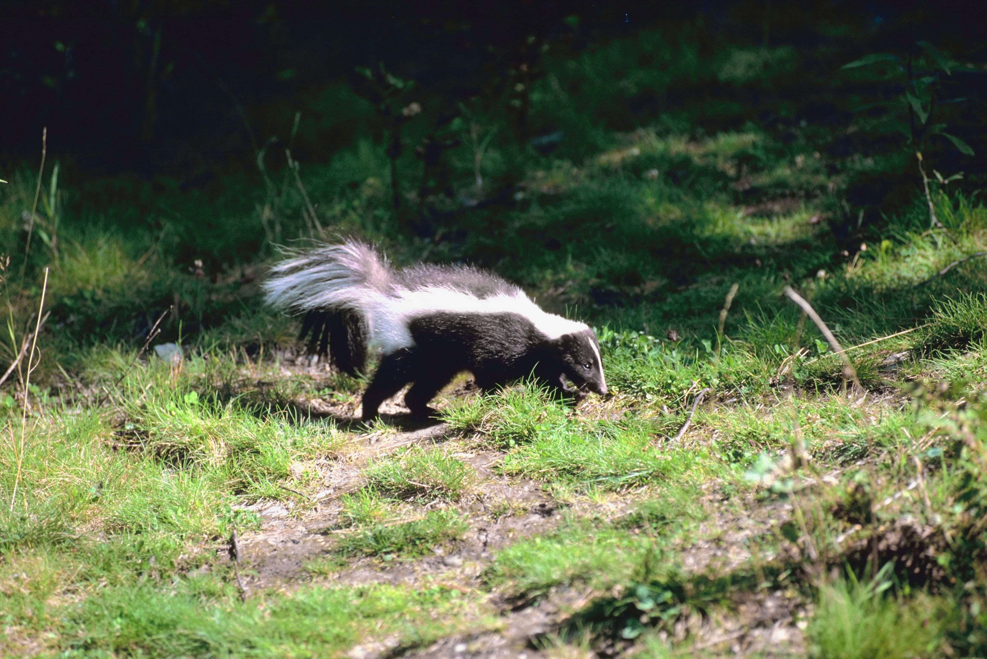 How To Make A Homemade Spray Proof Skunk Trap Hunker