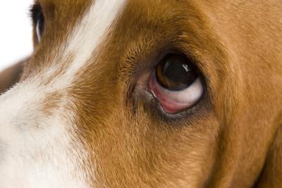 Dog Has Open Cyst On Eye Lid