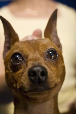 mix info dog breeds picture miniature schnauzers mixes miniature ...