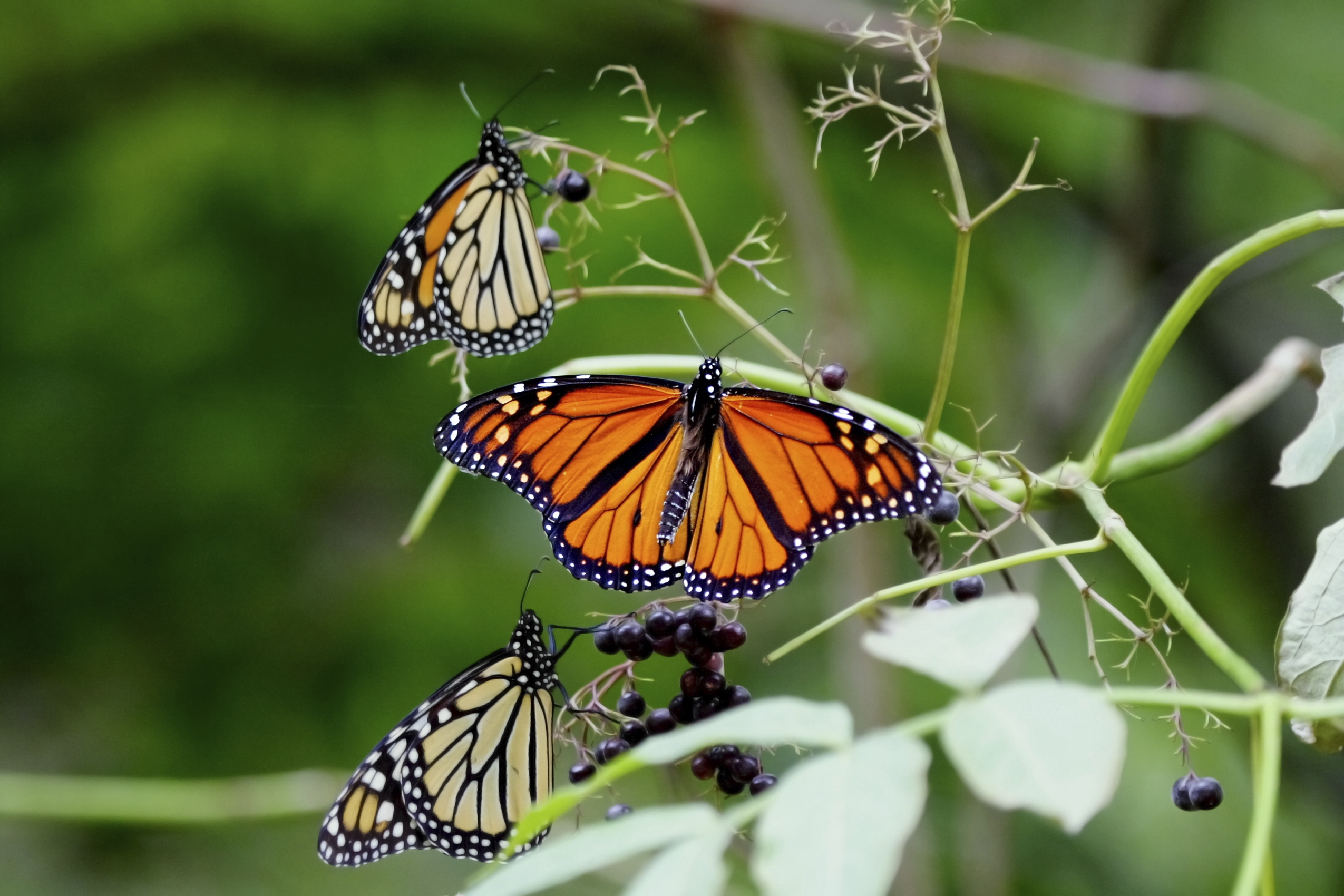 a comparison between the monarch and weed butterfly Impacts of genetically-modified crops and seeds on farmers  weed species24  within bt corn can be harmful to the larvae of a monarch butterfly when  crops.