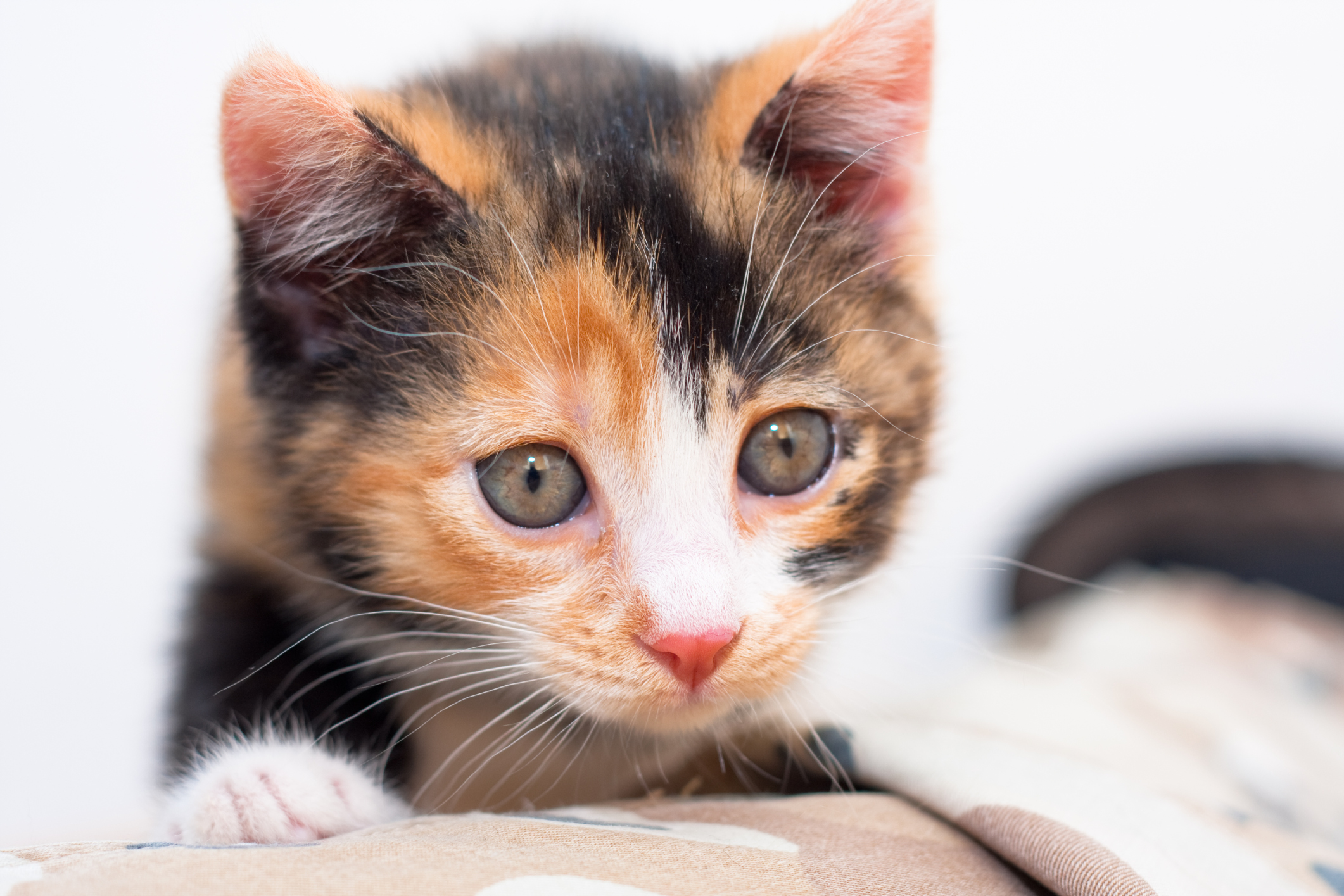 calico kittens personality amp training animals momme