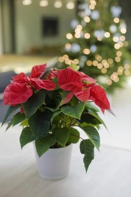 C mo dise ar macetas navide as para un jard n ehow en for Como disenar tu jardin