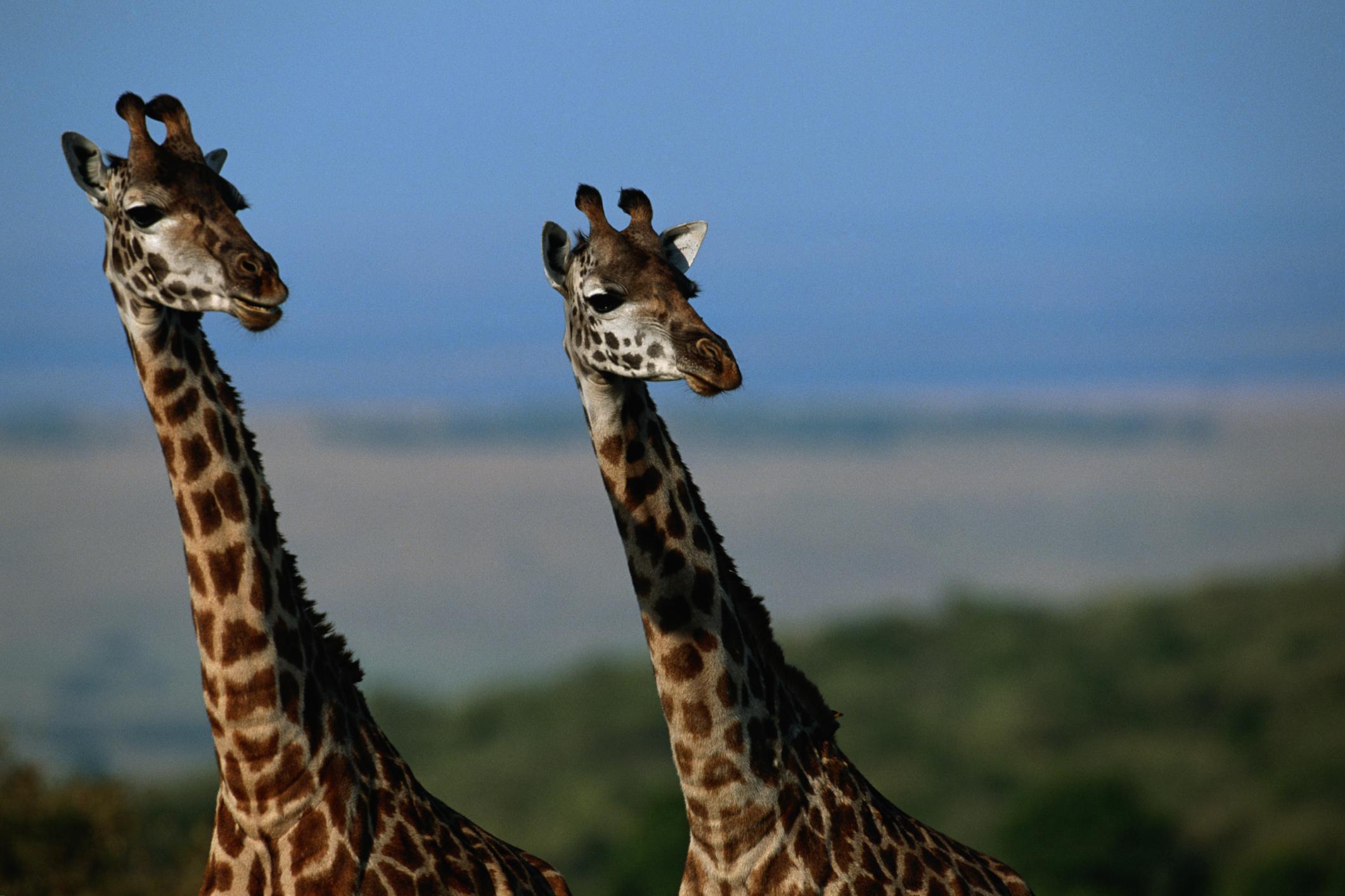 Giraffe Adaptation | Sciencing