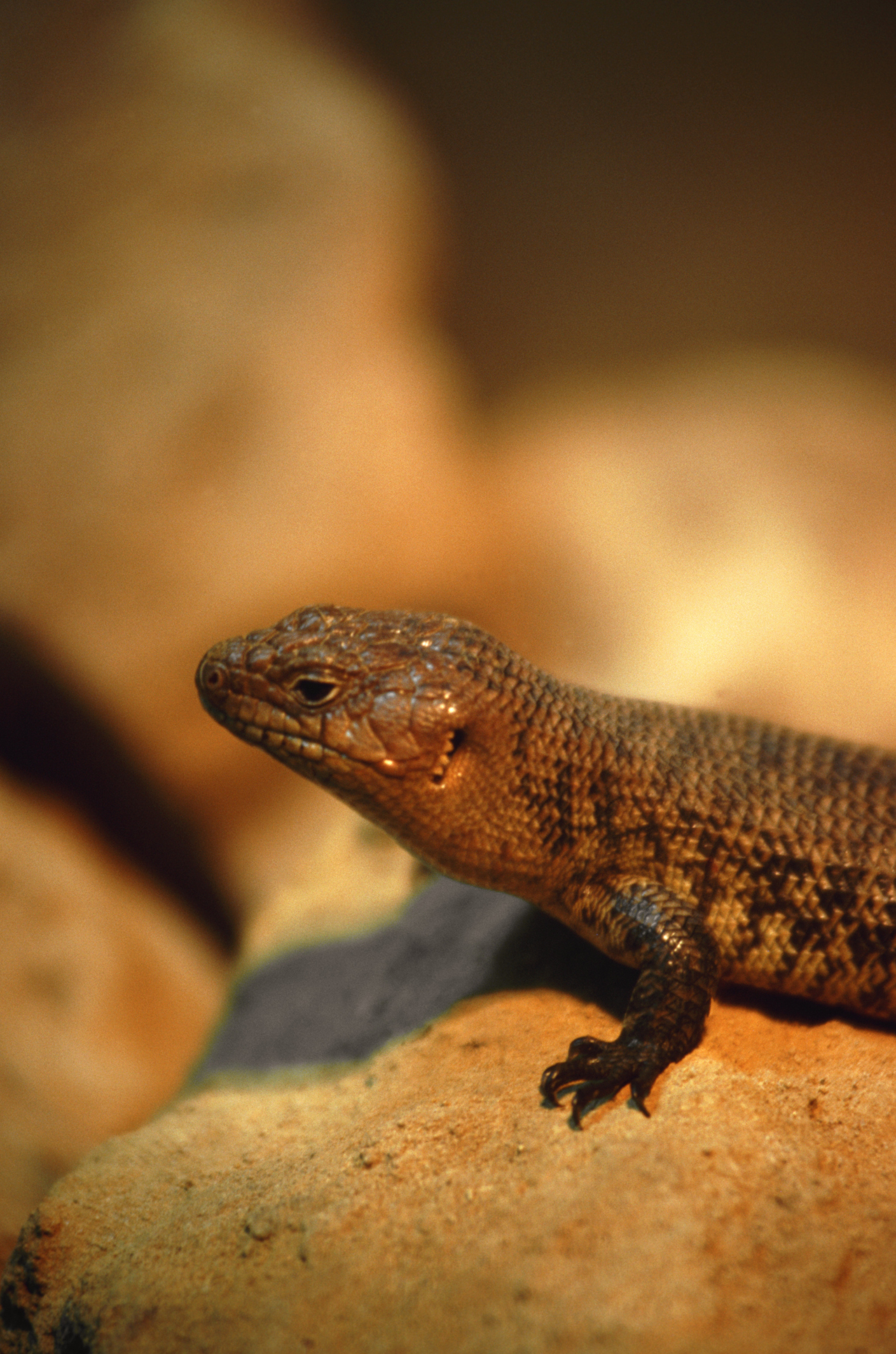 baby western fence lizard eat best fence for security 2017