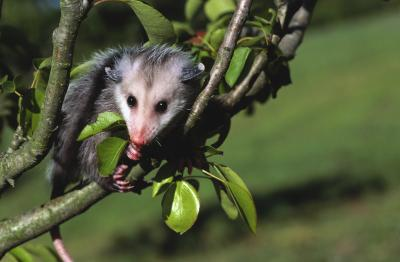 Home remedies to get rid of a possum home guides sf gate - How to get rid of possums in the garden ...