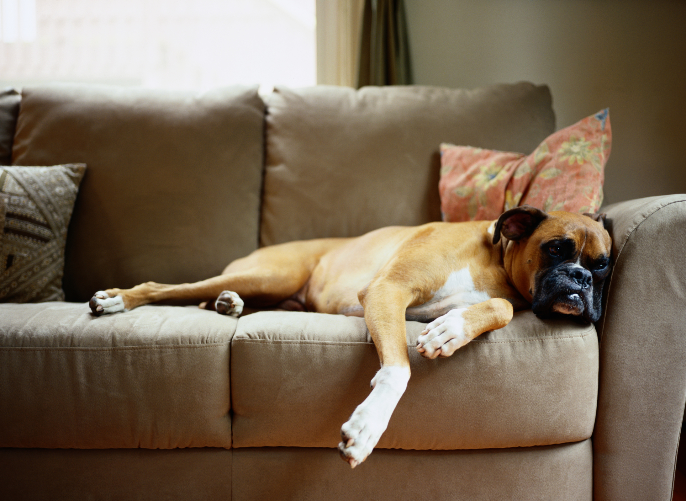 What Is a Pet-Friendly Leather Sofa?   Hunker