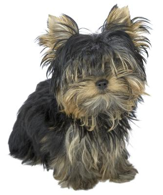Ungroomed fur can interfere with your Yorkie puppy's vision.