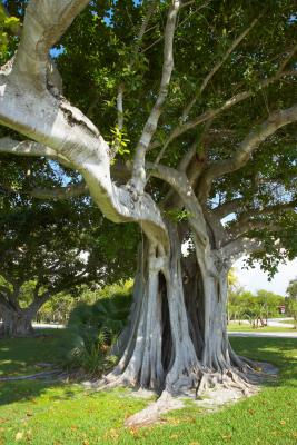 How Long Does It Take for a Strangler Fig to Kill a Tree ...