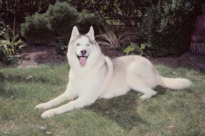 how to keep a siberian husky from digging holes pets